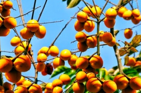 "GEOGRAPHICAL INDICATION PROTECTION OF ""QUẢN BẠ"" FOR SEEDLESS PERSIMMON"